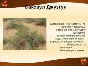 Саксаул Джузгун Кустарник 3 - 4 м. Растёт он по склонам и вершинам барханов.