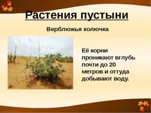 Растения пустыни Верблюжья колючка Её корни проникают вглубь почти до 20 метр