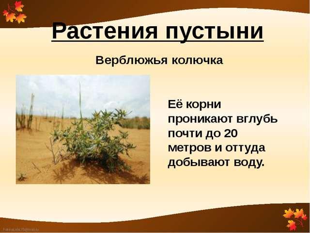 Растения пустыни Верблюжья колючка Её корни проникают вглубь почти до 20 метр...