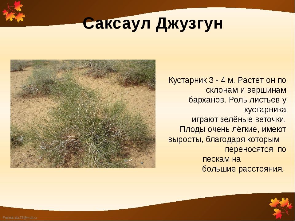 Саксаул Джузгун Кустарник 3 - 4 м. Растёт он по склонам и вершинам барханов....