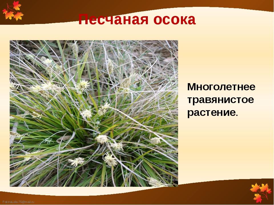Песчаная осока Многолетнее травянистое растение. FokinaLida.75@mail.ru