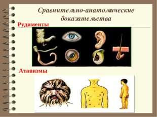 Сравнительно-анатомические доказательства Рудименты Атавизмы