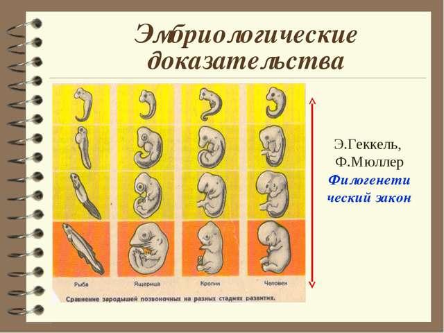 Эмбриологические доказательства Э.Геккель, Ф.Мюллер Филогенети ческий закон