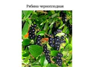Рябина черноплодная