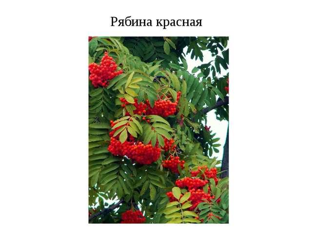 Рябина красная