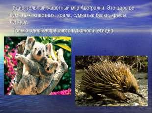 Удивительный животный мир Австралии. Это царство сумчатых животных: коала, с