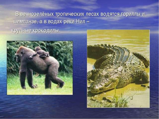 В вечнозелёных тропических лесах водятся гориллы и шимпанзе, а в водах реки...