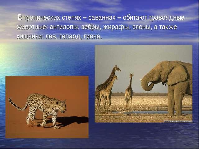 В тропических степях – саваннах – обитают травоядные животные: антилопы, зеб...