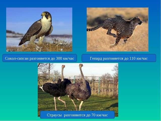 Гепард разгоняется до 110 км/час Сокол-сапсан разгоняется до 300 км/час Страу...