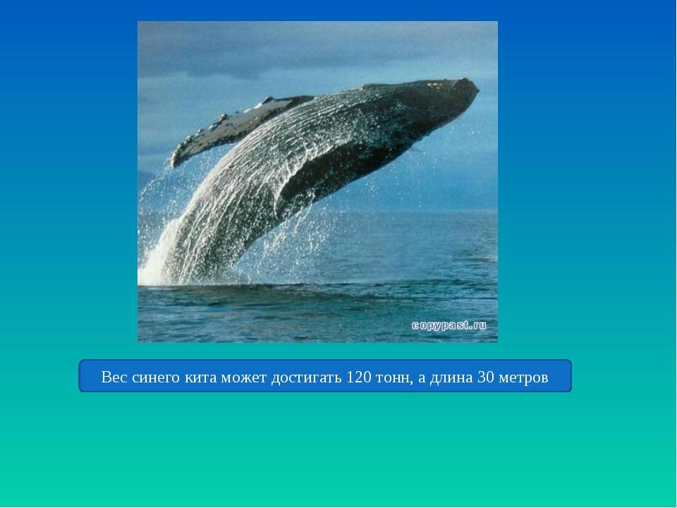 Вес синего кита может достигать 120 тонн, а длина 30 метров