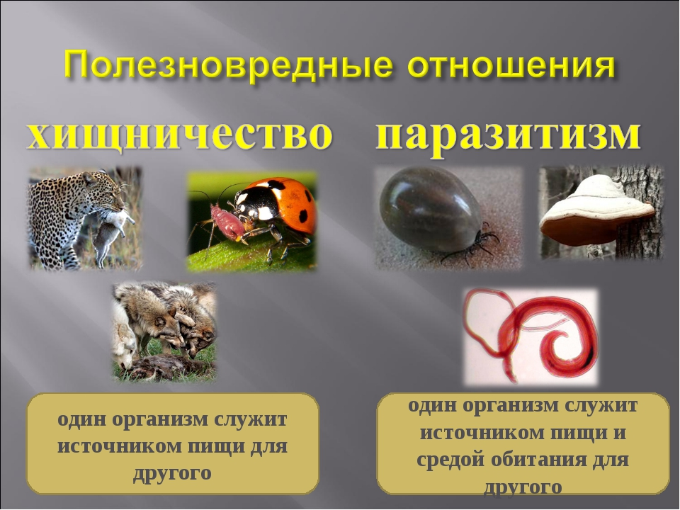 один организм служит источником пищи и средой обитания для другого один орган...