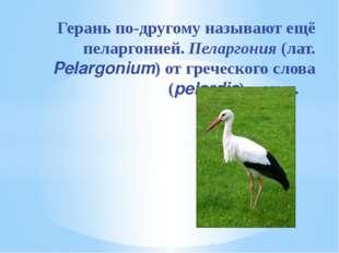 Герань по-другому называют ещё пеларгонией. Пеларгония (лат. Pelargonium) от