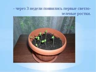 - через 3 недели появились первые светло-зеленые ростки.