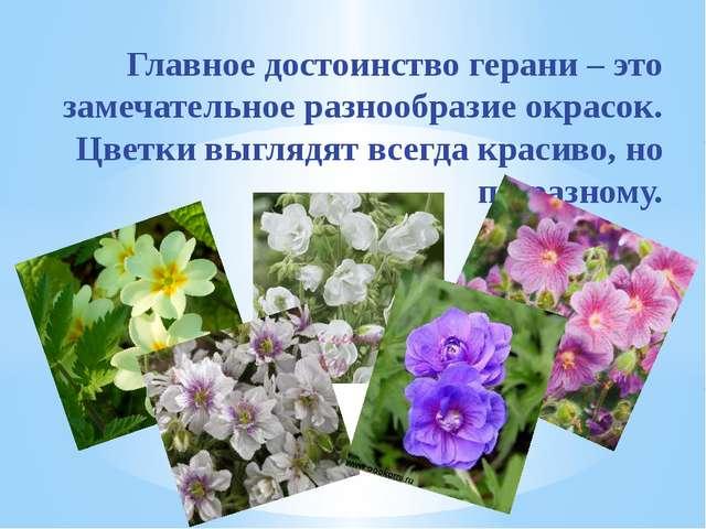 Главное достоинство герани – это замечательное разнообразие окрасок. Цветки в...