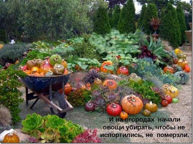 И на огородах начали овощи убирать, чтобы не испортились, не померзли.