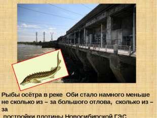 Рыбы осётра в реке Оби стало намного меньше не сколько из – за большого отлов