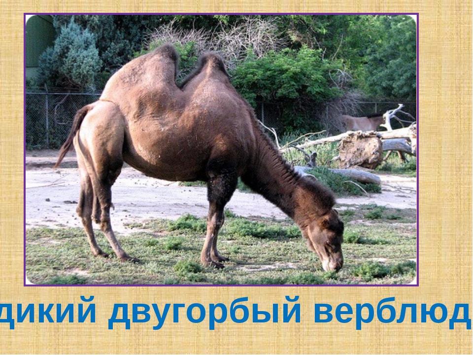 дикий двугорбый верблюд
