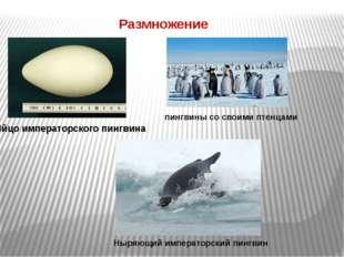 Размножение Яйцо императорского пингвина пингвины со своими птенцами Ныряющий