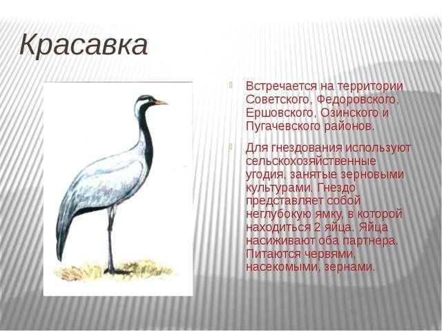 Красавка Встречается на территории Советского, Федоровского, Ершовского, Озин...