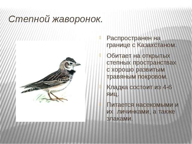Степной жаворонок. Распространен на границе с Казахстаном. Обитает на открыты...