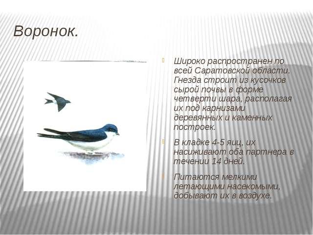 Воронок. Широко распространен по всей Саратовской области. Гнезда строит из к...