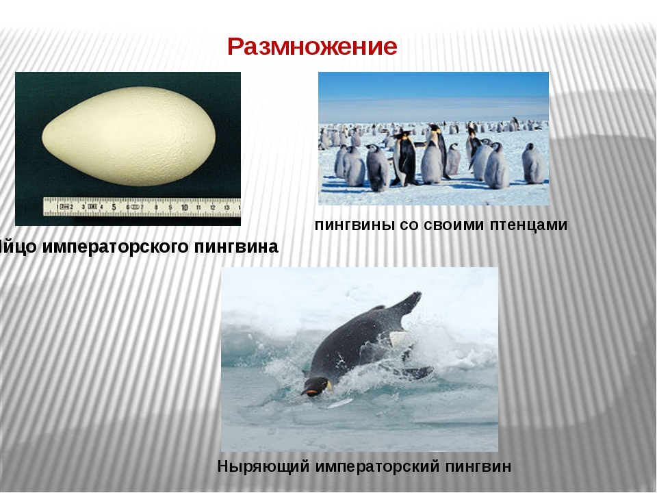 Размножение Яйцо императорского пингвина пингвины со своими птенцами Ныряющий...