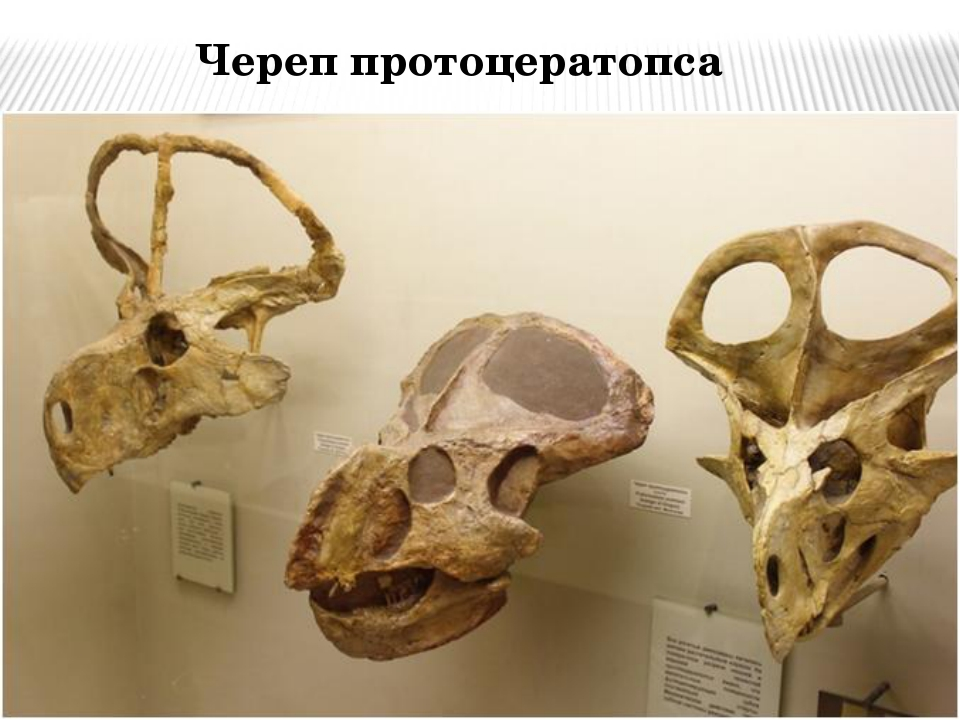 Череп протоцератопса