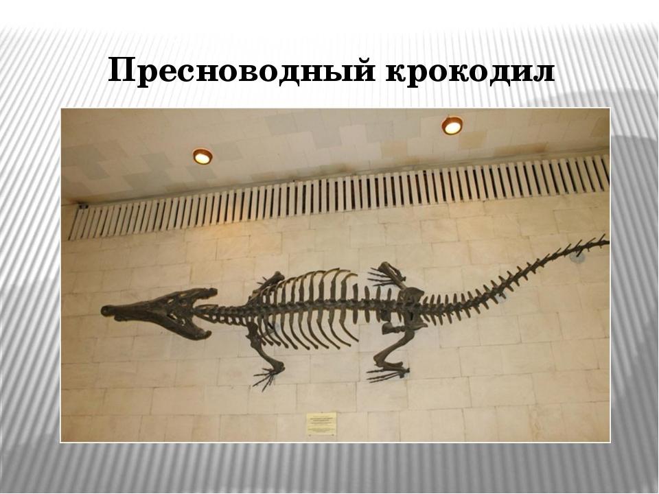 Пресноводный крокодил