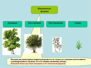 Жизненные формы Деревья Травы Высшие растения разных видов различаются не тол