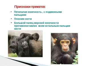 Признаки приматов: Пятипалая конечность , с подвижными пальцами Плоские ногти