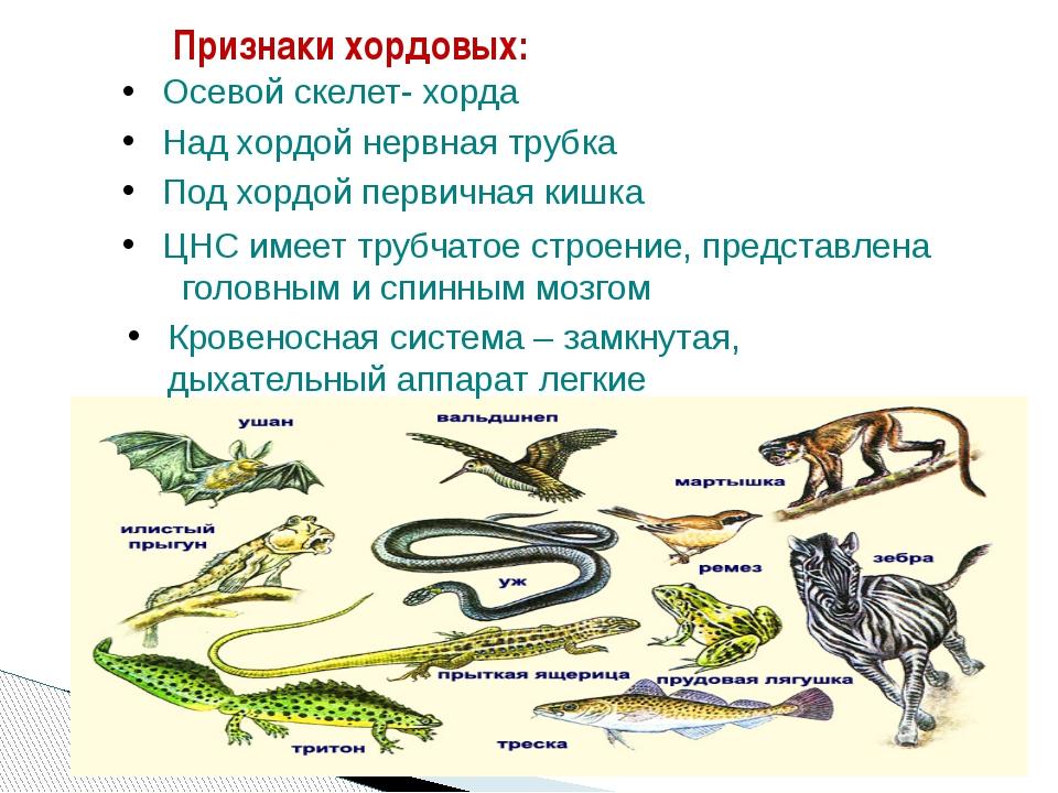 Признаки хордовых: Осевой скелет- хорда Над хордой нервная трубка Под хордой...