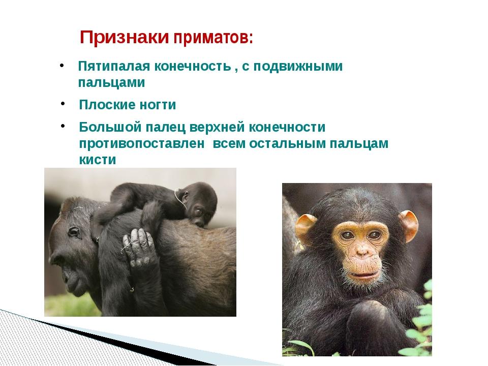 Признаки приматов: Пятипалая конечность , с подвижными пальцами Плоские ногти...