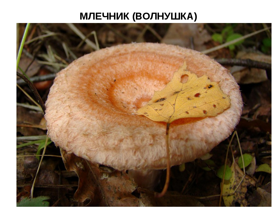 МЛЕЧНИК (ВОЛНУШКА)