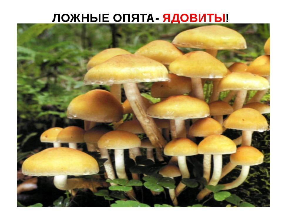 ЛОЖНЫЕ ОПЯТА- ЯДОВИТЫ!