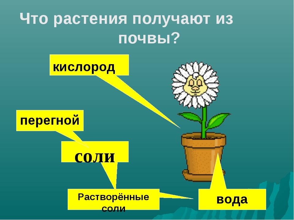 Что растения получают из почвы? кислород соли Растворённые соли вода перегной