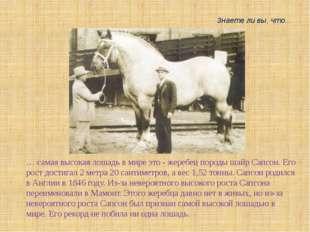 … самая высокая лошадь в мире это - жеребец породы шайр Сапсон. Его рост дост