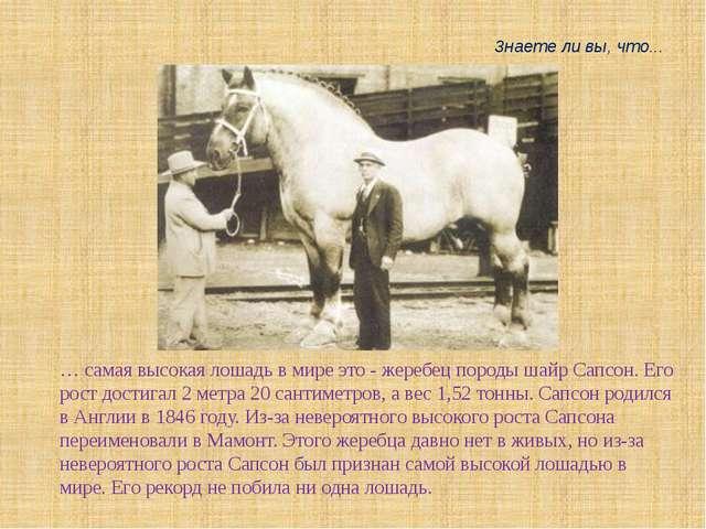 … самая высокая лошадь в мире это - жеребец породы шайр Сапсон. Его рост дост...