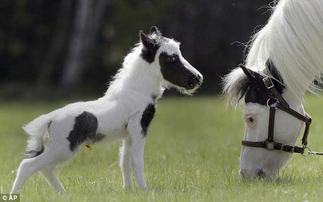 http://kohuku.ru/uploads/posts/2013-08/1376700183_einstein-worlds-smallest-horse01.jpg