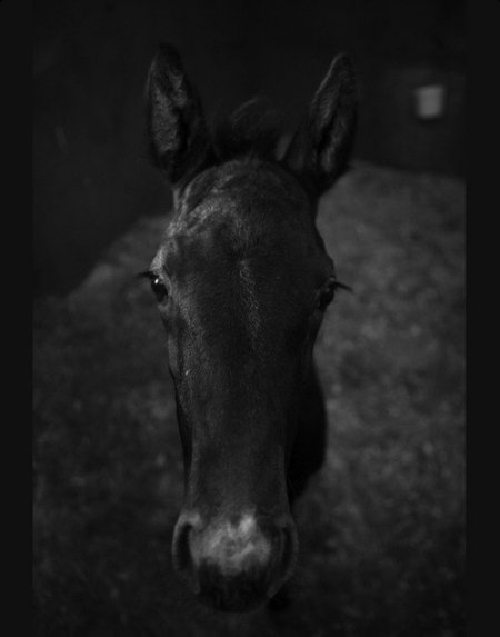 Черно-белое фото жеребенка