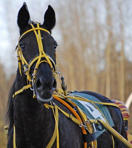 Фото лошади вороной масти