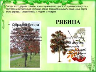 Плоды этого дерева сочные, ярко – оранжевого цвета. Созревают в августе – сен