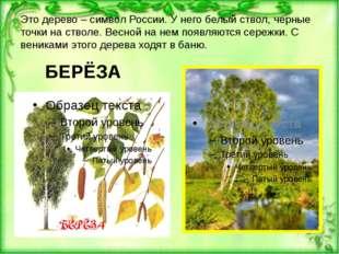 Это дерево – символ России. У него белый ствол, черные точки на стволе. Весно