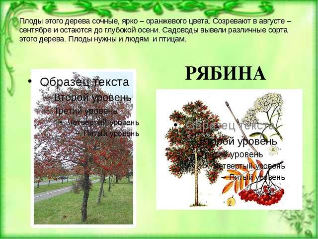Плоды этого дерева сочные, ярко – оранжевого цвета. Созревают в августе – сен...