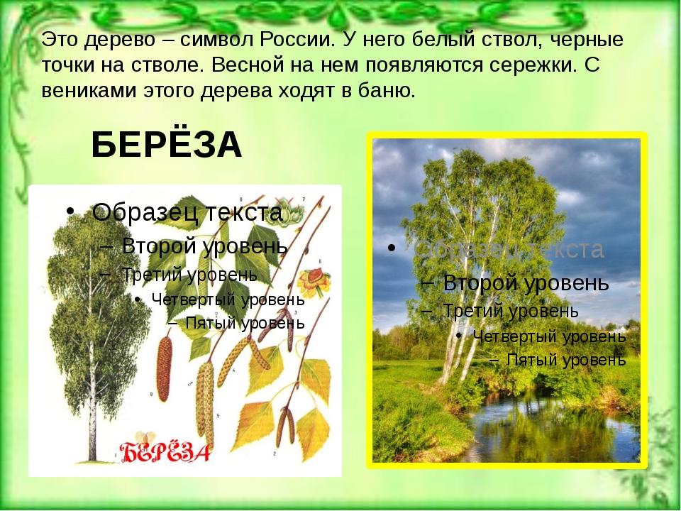 Это дерево – символ России. У него белый ствол, черные точки на стволе. Весно...