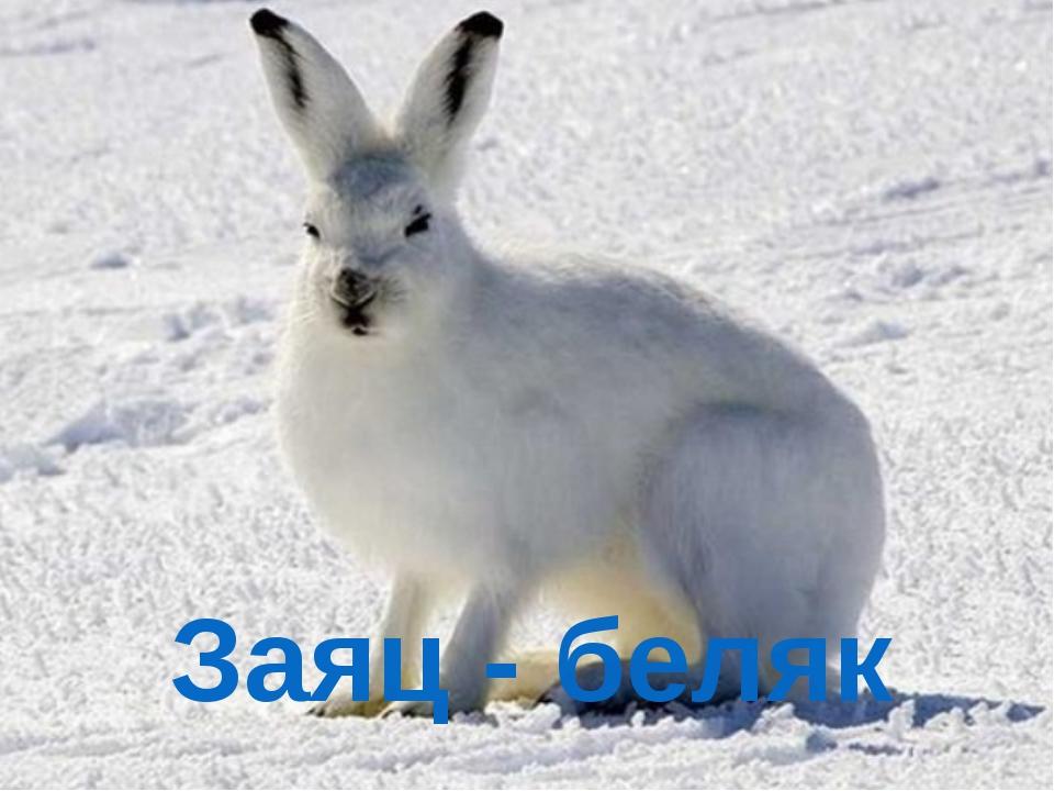 Заяц - беляк