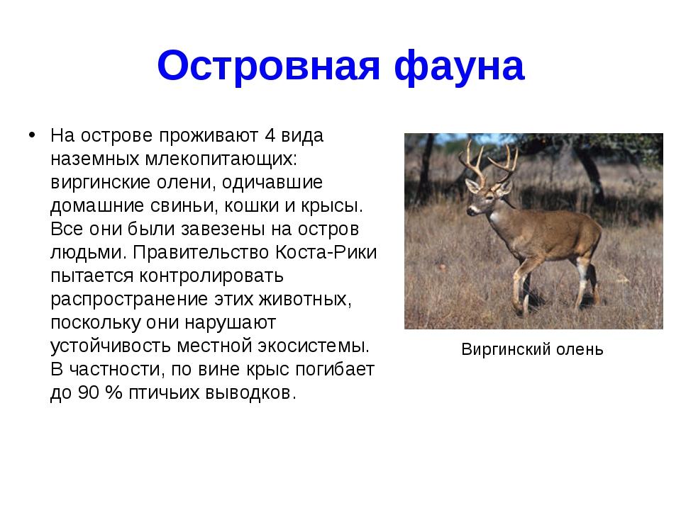 Островная фауна На острове проживают 4 вида наземных млекопитающих: виргински...