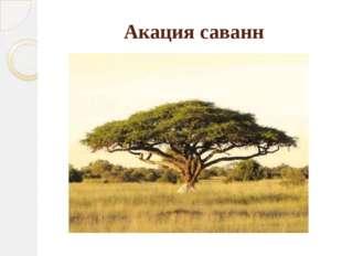 Акация саванн