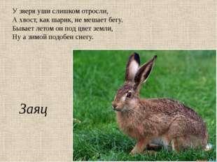 У зверя уши слишком отросли, А хвост, как шарик, не мешает бегу. Бывает летом