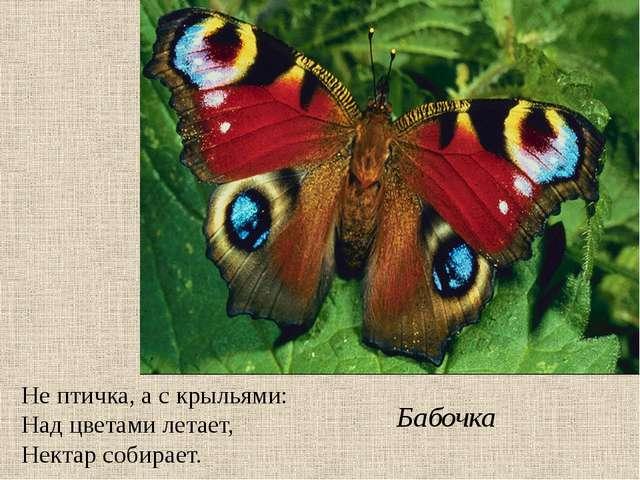 Не птичка, а с крыльями: Над цветами летает, Нектар собирает. Бабочка
