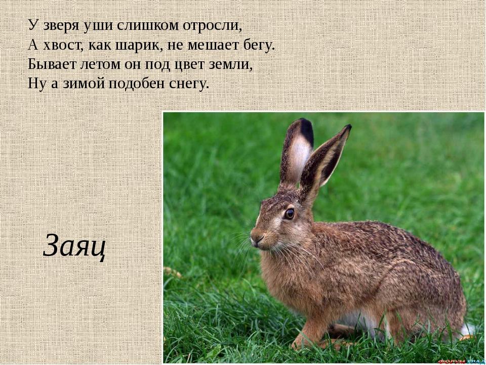 У зверя уши слишком отросли, А хвост, как шарик, не мешает бегу. Бывает летом...